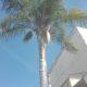 Cocus palma